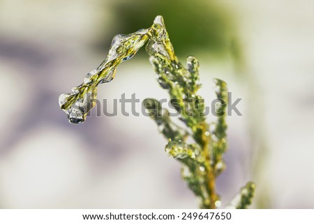 Icicle on a branch of a juniper in january - stock photo