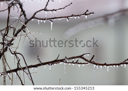 Icicles on the branch in December
