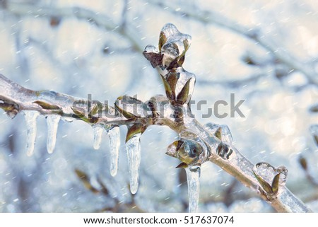 Icicles on twig formed during a winter freezing rain