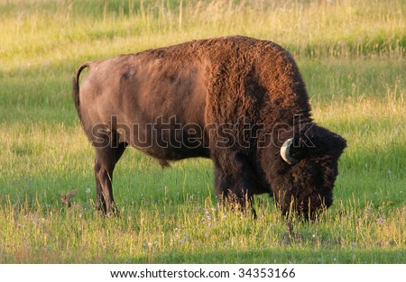 Iconic American Bison in the early morning light
