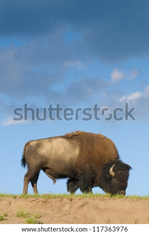 iconic North American Buffalo in Yellowstone National Park