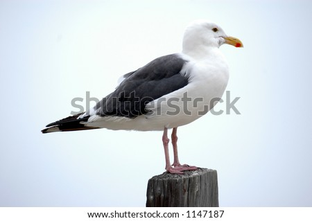 Iconic seagull sitting on a wood post