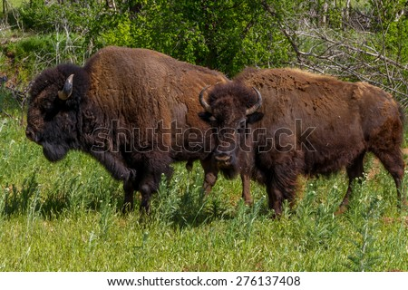 Iconic Wild Western Symbols - the American Bison (Bison bison), also Known as the American Buffalo, Living on the Range in Oklahoma. - stock photo