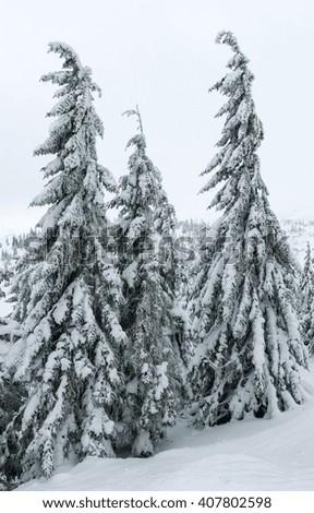 Icy snowy fir trees on winter mountain hill (Carpathian). - stock photo