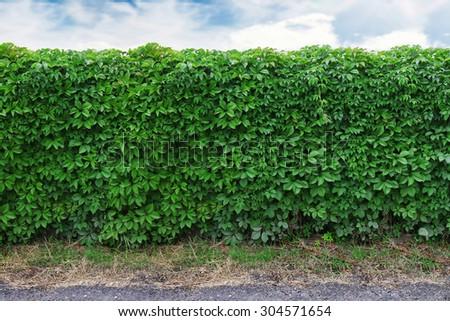 ideas for garden - Green ivy seamless texture - stock photo