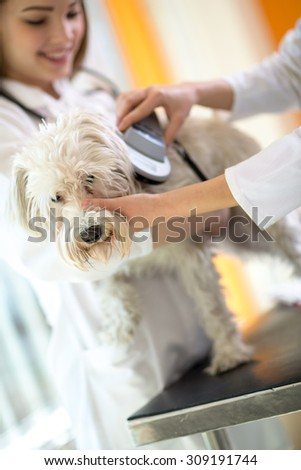 Identifying microchip implant sad lost Maltese dog by veterinarians in vet clinic - stock photo