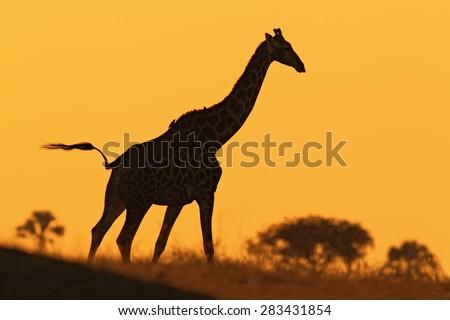 Idyllic giraffe silhouette with evening orange sunset, Botswana, Africa - stock photo