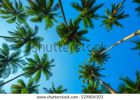 Idyllic looking green tropical palm trees with coconuts at a clear sunny summer day with a blue sky
