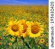 Idyllic scenic landscape - Sunflower field - stock photo