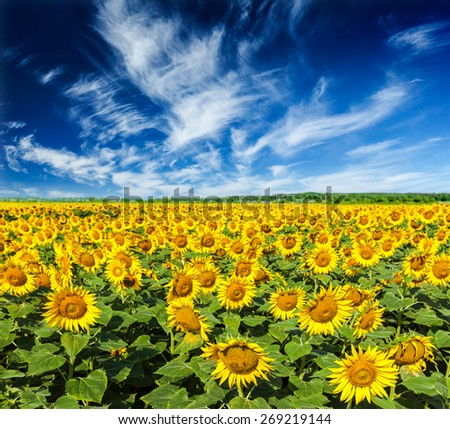 Idyllic scenic summer landscape - blooming sunflower field and blue sky