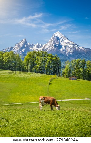 Idyllic summer landscape in the Alps with cow grazing on fresh green mountain pastures and snow capped mountain tops in the background, Nationalpark Berchtesgadener Land, Upper Bavaria, Germany - stock photo