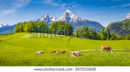 Idyllic summer landscape in the Alps with cows grazing on fresh green mountain pastures and snow capped mountain tops in the background, Nationalpark Berchtesgadener Land, Upper Bavaria, Germany - stock photo
