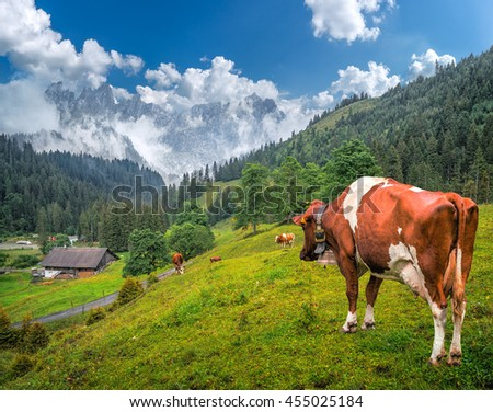 Idyllic summer landscape in the Swiss Alps with cows grazing in fresh green meadows between blooming flowers, typical farmhouses and snow-capped mountain tops on a sunny day with blue sky, Switzerland - stock photo