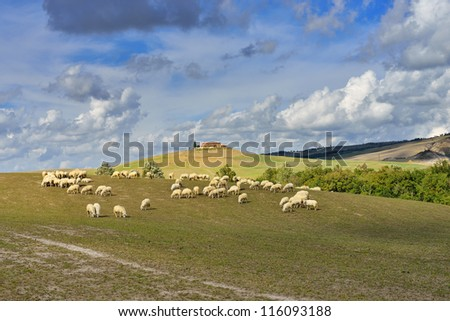 Idyllic Tuscan landscape with sheeps near Pienza, Vall d'Orcia Italy, Europe