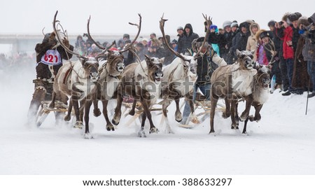 Iengra, Neryungri District, Yakutia, Russia. March 5, 2016 Racing reindeer on the celebration of the reindeer herders