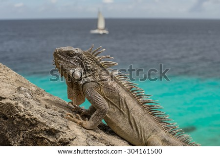 Iguana at 1000 steps diving site Views around Bonaire a small island in the Caribbean - stock photo