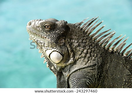 Iguana close up with a blue tropical ocean as the background.