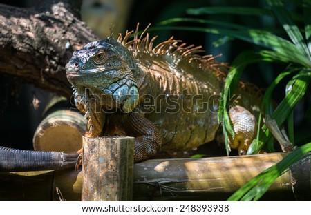 iguana (head shot) basking in the sun - stock photo