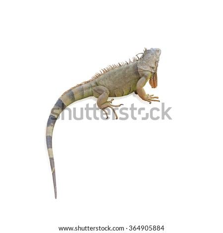 Iguana (Iguanidae),prehistoric reptiles isolated on white background, with clipping path - stock photo
