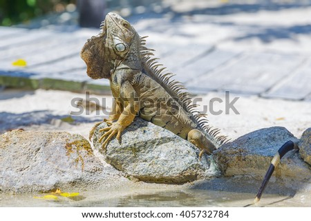 Iguana in Aruba beach.   - stock photo