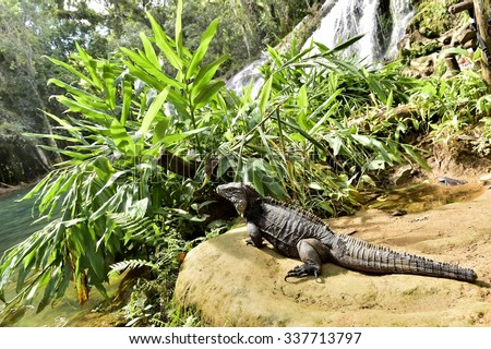 Iguana in the forest. Cuban rock iguana (Cyclura nubila), also known as the Cuban ground iguana.