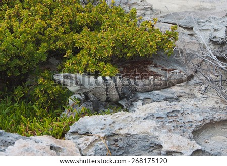 Iguana is resting on a rock on Mexican coastline - stock photo