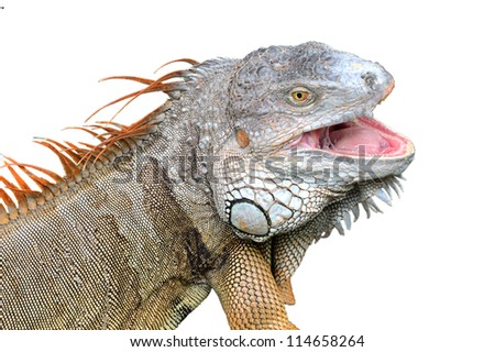 Iguana isolated on white background - stock photo
