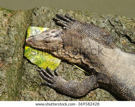 Iguana, Melaka, Malaysia - stock photo