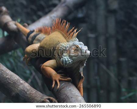 Iguana on a branch in a zoo