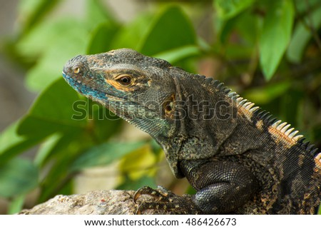 Iguana on the lookout