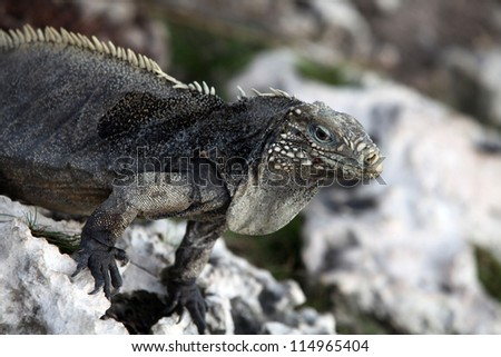 Iguana on the rocks in the caribbean