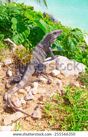 Iguana on the rocks near Tulum ruins in Mexico - stock photo