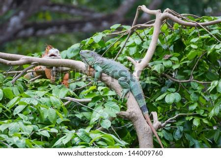 Iguana on the tree - stock photo
