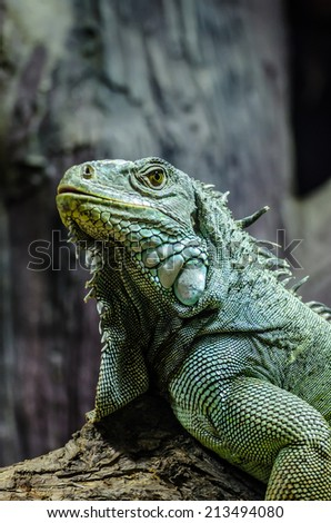 Iguana on the tree - stock photo
