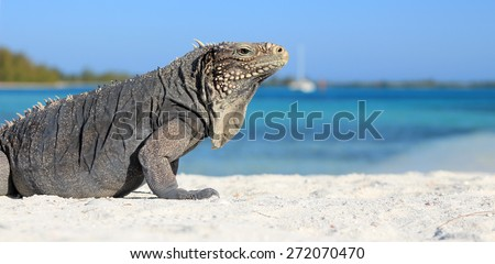 Iguana on white sand beach in Cayo Largo, Cuba, with the sea in the background
