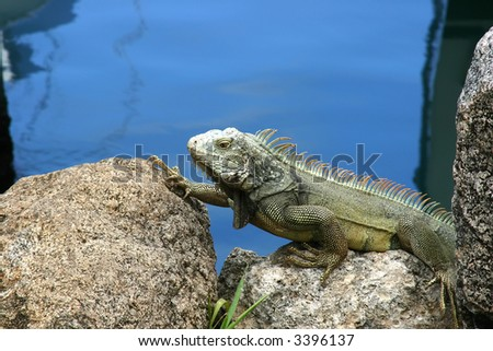 Iguana sitting on a rock by watter - stock photo