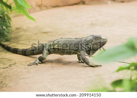 Iguana verde moves in natural habitat - stock photo