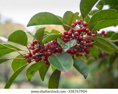 Ilex rotunda to add the bright red fruits  in late fall - stock photo