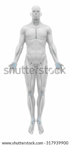 Iliotibial tract - Muscles anatomy map - stock photo