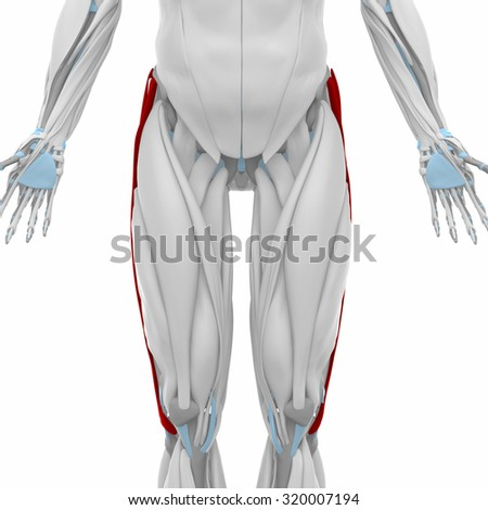 vastus lateralis anatomy map muscles stock illustration 317939864, Muscles