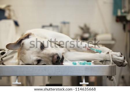 Ill labrador retriever in veterinary clinic. - stock photo