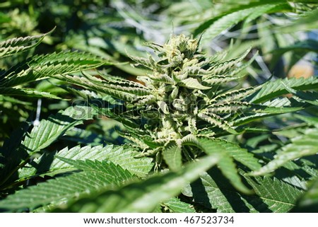 Illegal Drug Cultivation Concept - Cannabis Marijuana Bud Plant with Large Leaves