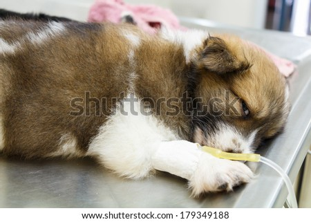 illness puppy with intravenous drip on operating table in veterinarian's clinic - stock photo