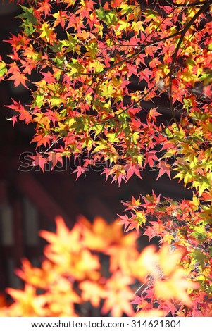 Illuminated autumn leaves ~ Colorful and bright foliage of Japanese maple light-up in the night (or under the sunshine) - stock photo