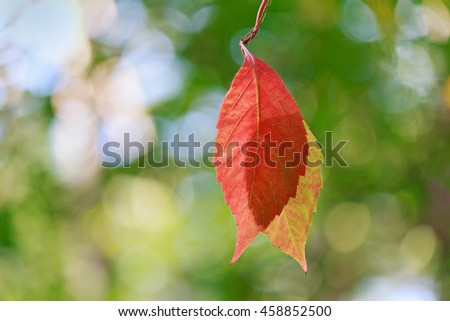 Illuminated by the sun hanging red leaf closeup. Nature - stock photo