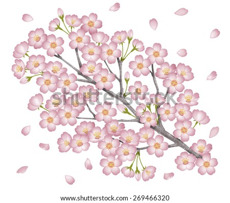 "Illustration of a branch of a cherry tree. / A petal has been added. Prunus yedoensis. White background.  Japanese is ""Sakura"". - stock photo"