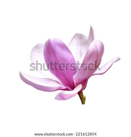 Illustration of a magnolia flower isolated on white background - stock photo