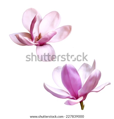 Illustration of a magnolia flower isolated on white background - stock photo
