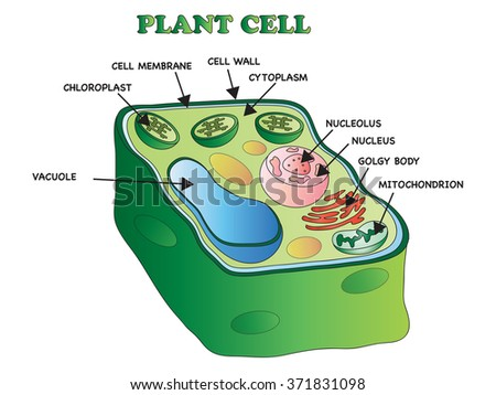illustration of an plant cell - stock photo