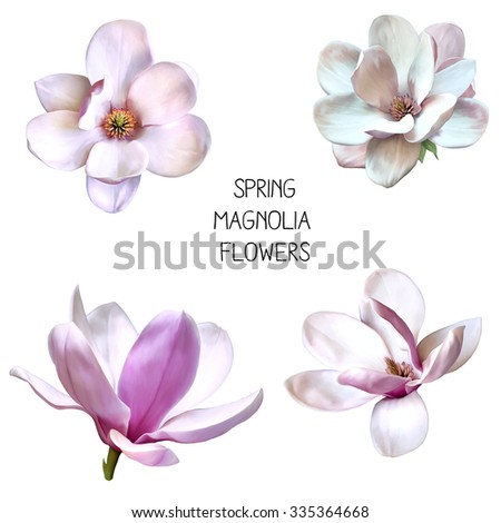 Illustration of beautiful magnolia, Spring flower isolated on white background - stock photo